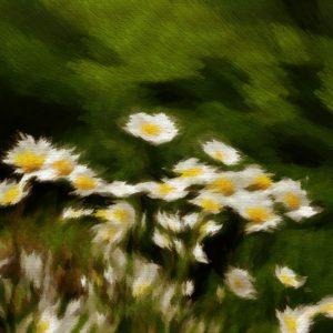 Huile Ensoleillée à la Fleur de Camomille