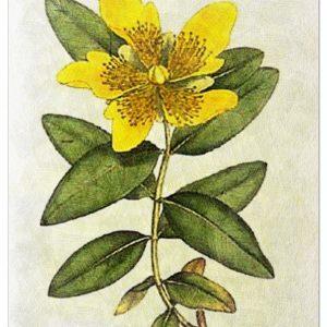 Huile Apaisante à la Fleur de Millepertuis