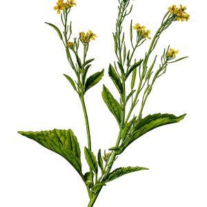 Huile Aromatique à la Moutarde pour les Cheveux