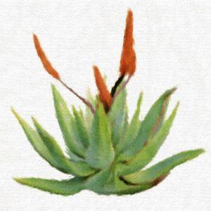 Huile Regénératrice à l'Aloe vera pour Visage et Corps
