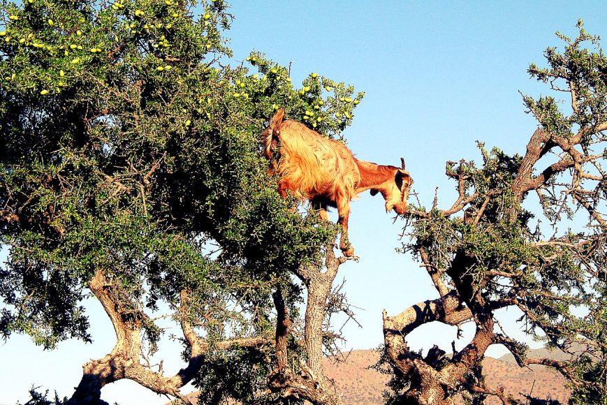 arbre-chevre