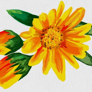 Huile fleurs de Calendula