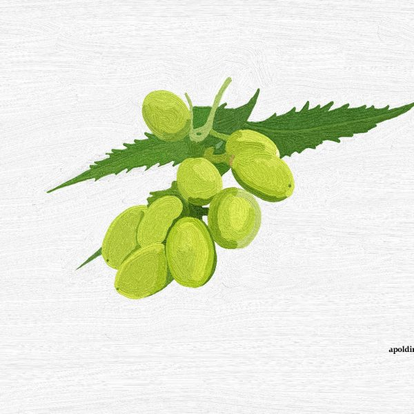 Huile végétale de Neem BIO