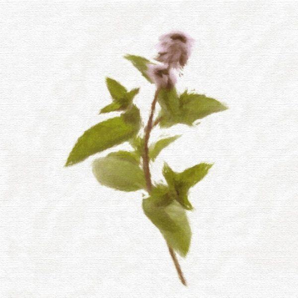 Huile végétale de menthe