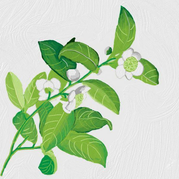 Huile de thé vert