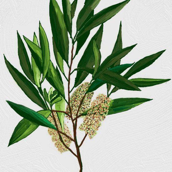 huile végétale d'arbre a thé ou tea tree