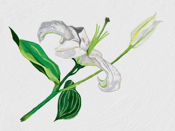 Huile Végétale de Lys Biologique